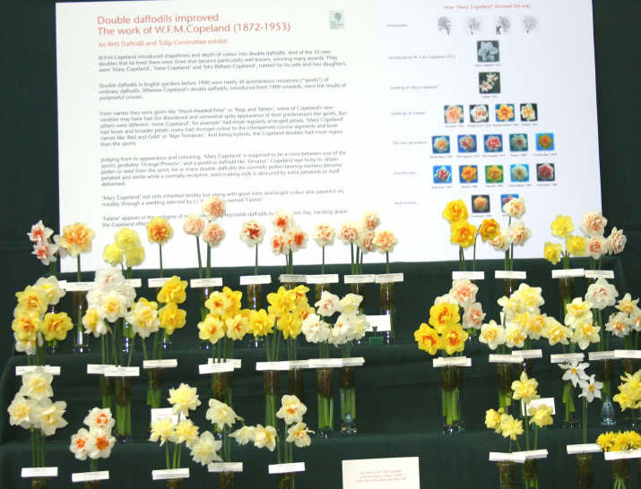 Copeland Heirloom Daffodil Doubles, RHS London