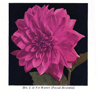 Heirloom Dahlia