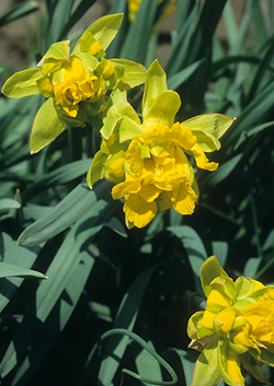 Van Sion Heirloom Daffodil