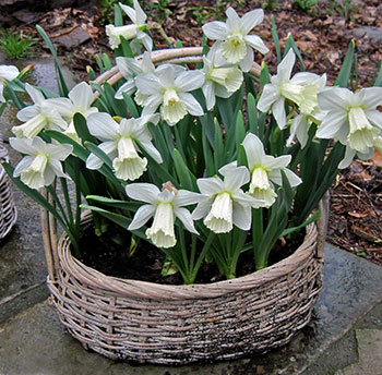 Jane's Easy Daffodil Baskets– www.OldHouseGardens.com