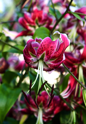 <i>New York Times</i> Praises Our Lilies &ndash; www.OldHouseGardens.com