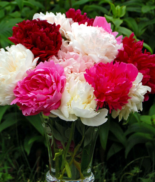 Try This at Home: Fresh Peonies Months from Now – www.OldHouseGardens.com