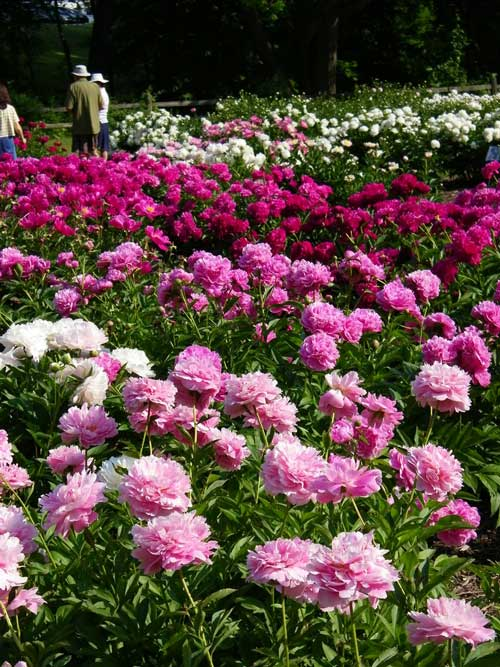 Historic Peony Garden Launches New Website – www.OldHouseGardens.com