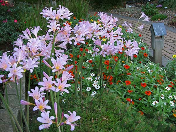 Learning from You: Pink Surprise Lilies Beyond Zones 6-7 – www.OldHouseGardens.com
