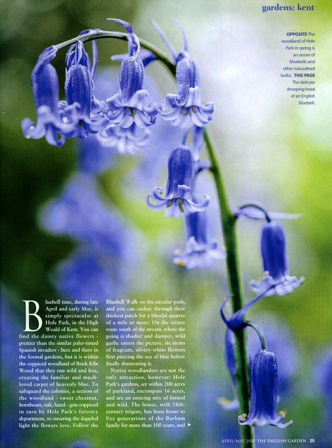 TRUE English bluebells, oldhousegardens.com
