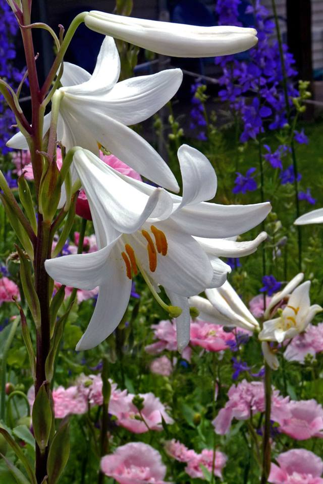 Madonna (Lily) Blows Up Our Facebook Page – http://www.oldhousegardens.com/bulb/madonnalily