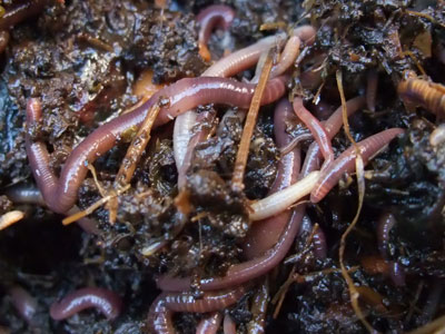 Earthworms: The Good, the Bad, and the Latest Research
