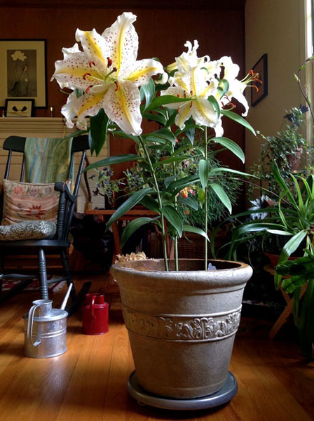 Learning from You: Lilies in the Living Room – 'Gold-band' lily, www.oldhousegardens.com