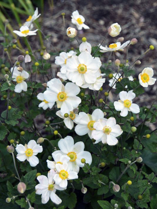 Heirloom Named 2016 Perennial Plant of the Year – www.OldHouseGardens.com