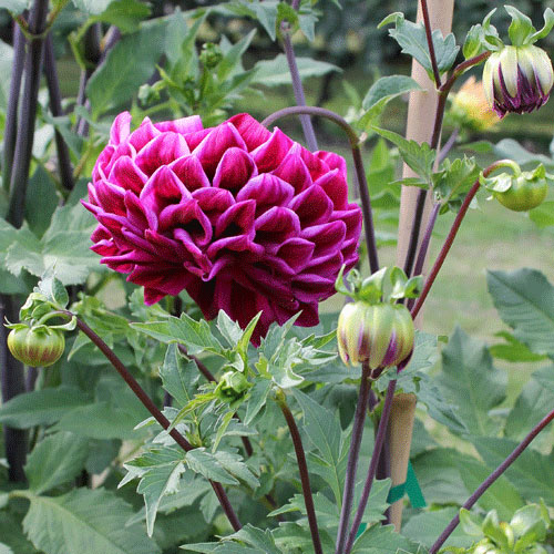 Historic Meadowburn Farm Offers 7 Rescued Dahlias