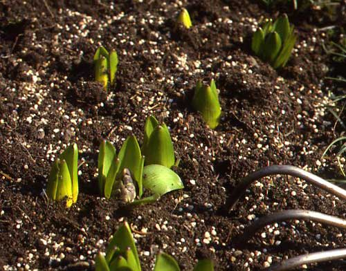 Spring Tip: Fertilize Early, Before Foliage Emerges – www.OldHouseGardens.com