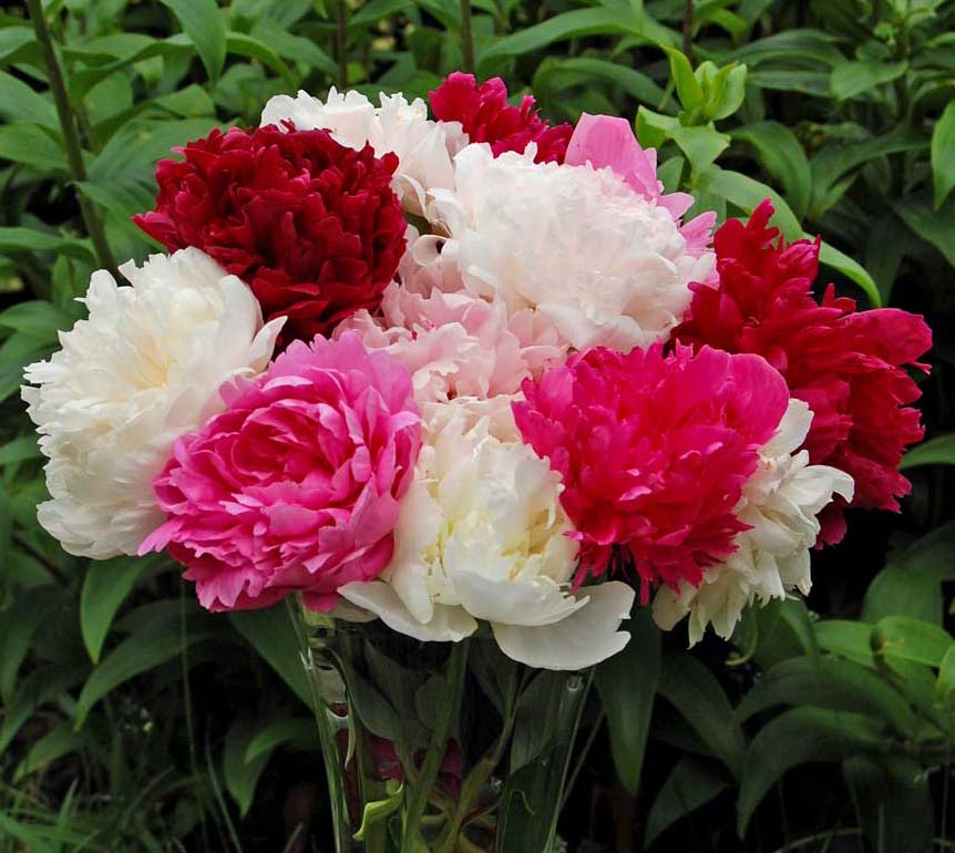 Tips for Making Your Peonies in Bouquets Last Longer – www.OldHouseGardens.com