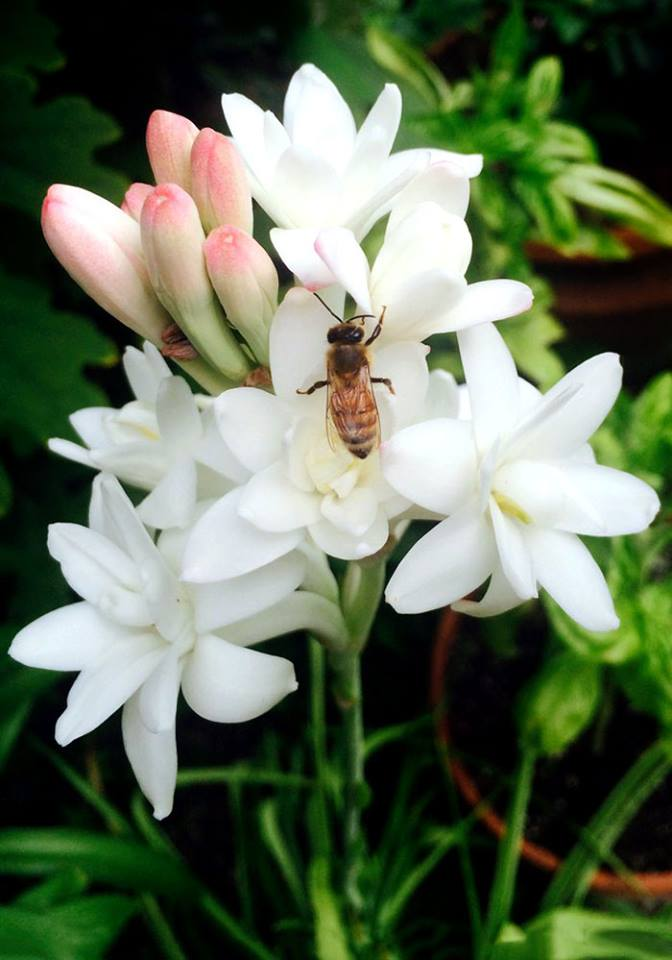 Buzzing about Pollinators: It's National Pollinator Week! – www.OldHouseGardens.com