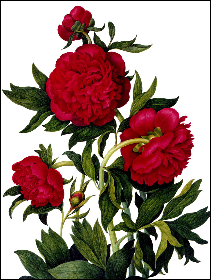 America's First Peony – and One of Louise Beebe Wilder's Favorites – www.OldHouseGardens.com