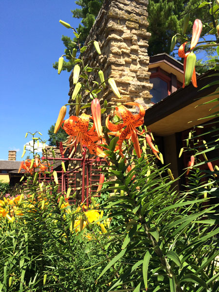 "Our Tiger Lilies ""Look Amazing"" at Frank Lloyd Wright's Home – www.OldHouseGardens.com"