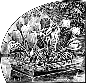 Forcing Crocus on Pebbles like Paperwhites – www.OldHouseGardens.com
