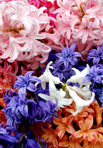 "Looking Back: ""Don't Be Afraid of Hyacinths"" – www.OldHouseGardens.com"