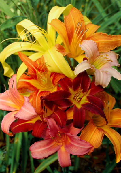 "From 1954: Companion Plants for ""Up and Coming"" Daylilies – www.OldHouseGardens.com"