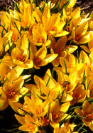 Cloth of Gold crocus, 1587 oldhousegardens.com