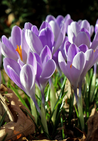 Vanguard crocus, 1934 oldhousegardens.com