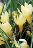 Cream Beauty crocus, 1943 oldhousegardens.com