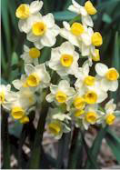 Avalanche daffodil, 1906 oldhousegardens.com