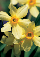 Conspicuus daffodil, 1869 oldhousegardens.com