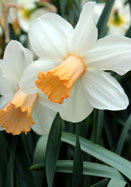 Mrs. Backhouse daffodil, 1921 oldhousegardens.com