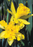 Van Sion daffodil, 1620 oldhousegardens.com