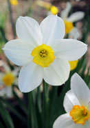 White Lady daffodil, 1897 oldhousegardens.com