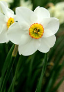 Cantabile daffodil, 1932 oldhousegardens.com
