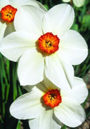 Firetail daffodil, 1910 oldhousegardens.com
