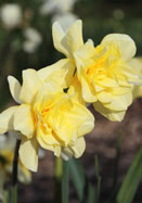 Sulphur Phoenix, Codlins and Cream daffodil, 1820 oldhousegardens.com