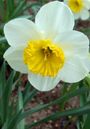 John Evelyn daffodil, 1920 oldhousegardens.com