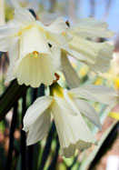 moschatus daffodil, 1604 oldhousegardens.com