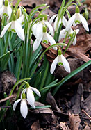 traditional snowdrop, 1597 oldhousegardens.com
