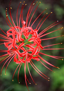red spider lily, 1821 oldhousegardens.com