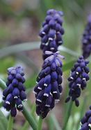 Southern grape hyacinth, 1629 oldhousegardens.com