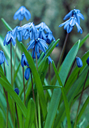 Siberian squill, 1796 oldhousegardens.com