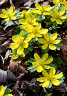 winter aconite, 1578 oldhousegardens.com