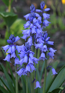 blue Spanish bluebell