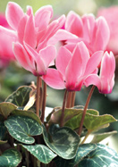 sowbread cyclamen, 1597 oldhousegardens.com