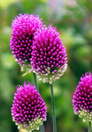 purple-headed garlick, 1766 oldhousegardens.com