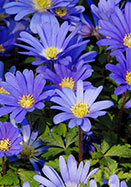 blue Grecian windflower, 1854 oldhousegardens.com