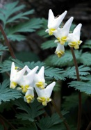 Dutchman's breeches, 1731 oldhousegardens.com