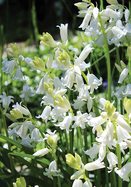 white Spanish bluebell, 1601 oldhousegardens.com