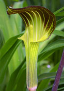 jack-in-the-pulpit, 1664 oldhousegardens.com