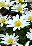 white Grecian windflower, 1854 oldhousegardens.com