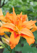 Kwanso double daylily, 1860 oldhousegardens.com