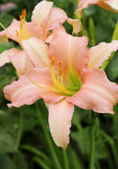 Luxury Lace daylily, 1959 oldhousegardens.com